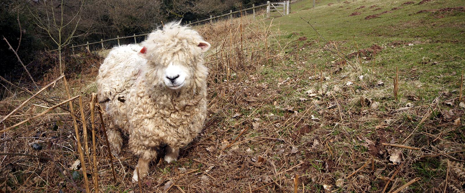 Kieran Rae Offa Offas Dyke Wales Sheep