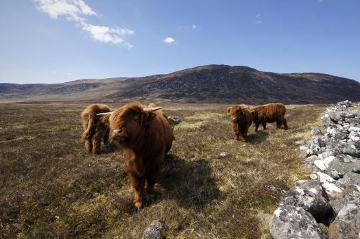 Kieran Rae East Highland Way Scotland Cow