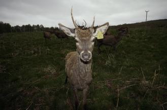 Kieran Rae Deer Stag Scotland