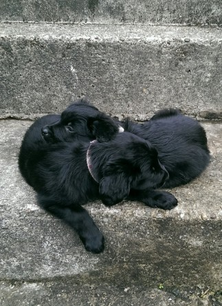 Kieran Rae Puppy Collie Flat Coated Retriever