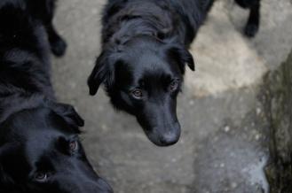 Kieran Rae Dog Collie Flat Coated Retriever