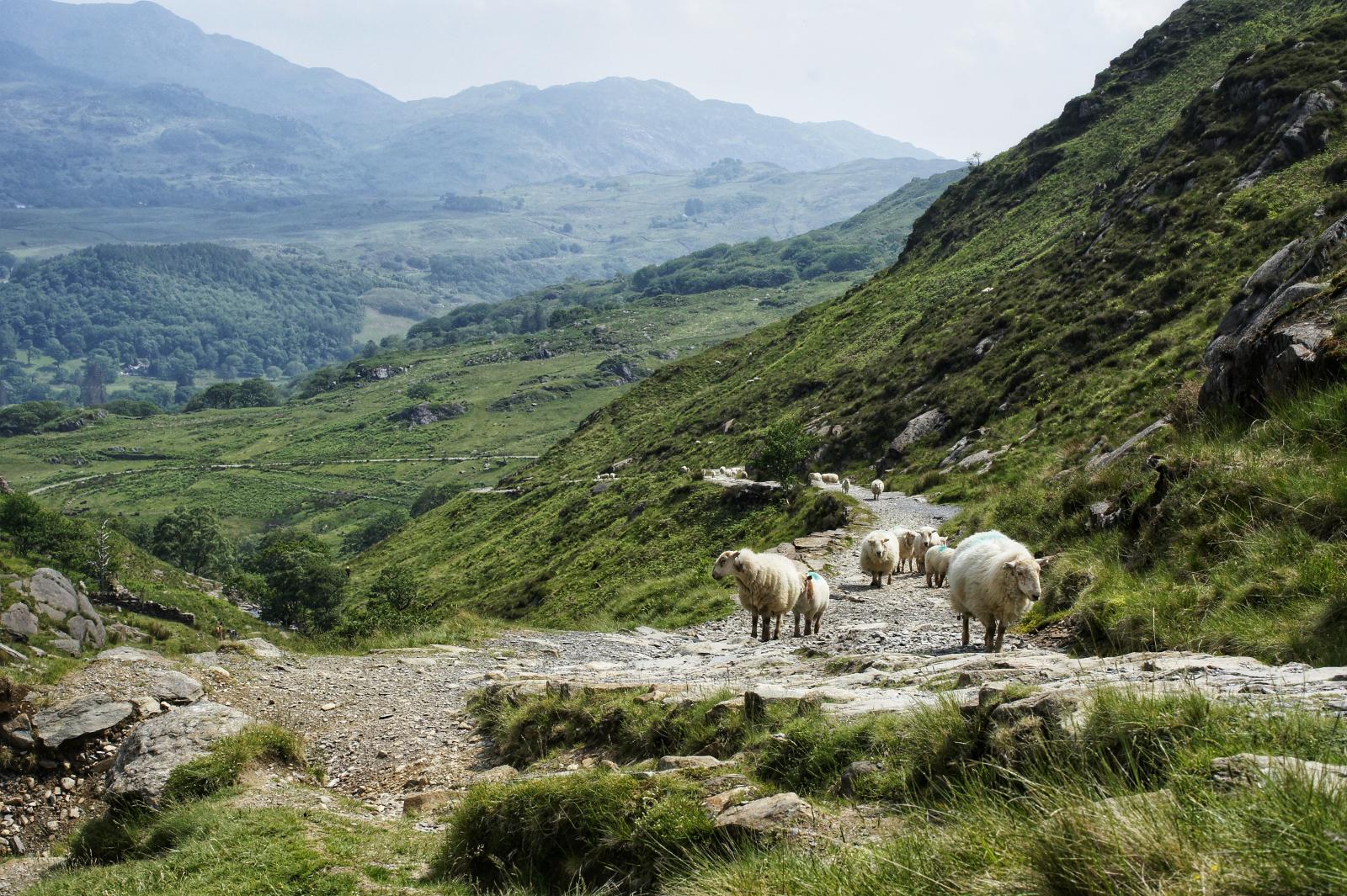 Kieran Rae Snowdon Snowdonia Wales Watkin Path Sheep
