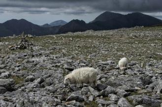 Kieran Rae Wales Glyderau Glyder Snowdonia Sheep